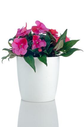 Balsam Plant
